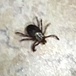 Meryl's Pest Control offers Flea & Tick Control