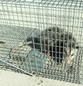 Small animal trapping - Opossum